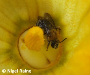 Bee inside a yellow flower