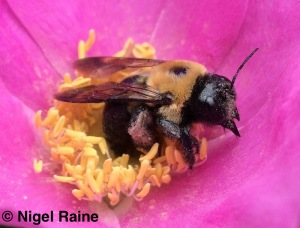 Carpenter bee inside a pink flower